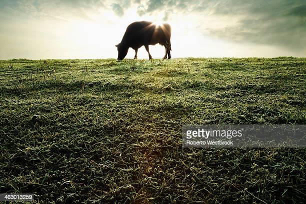 Silhouette of cow grazing in field