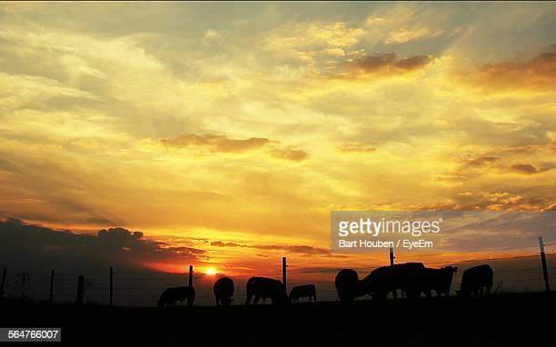 Silhouette Of Cows Grazing In Field During Sunset