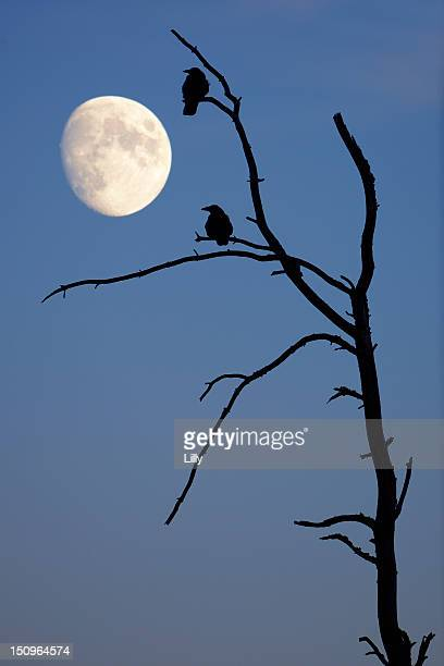 Silhouette of crows on a dead tree with moon in the sky, Baden-Wuerttemberg, Germany