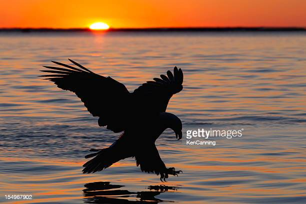 Silhouette of eagle above water on orange sunset