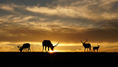 Silhouette of elks at Point Reyes National Park, California, USA