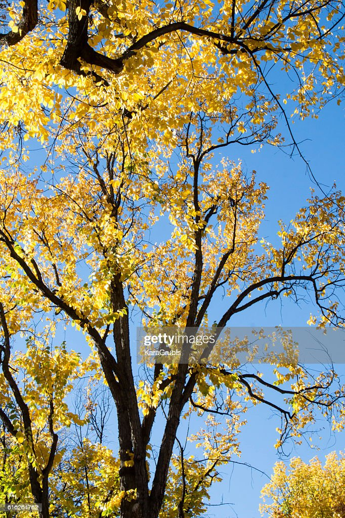 Silhouette of giant oak tree with autumn leaves : Stock Photo
