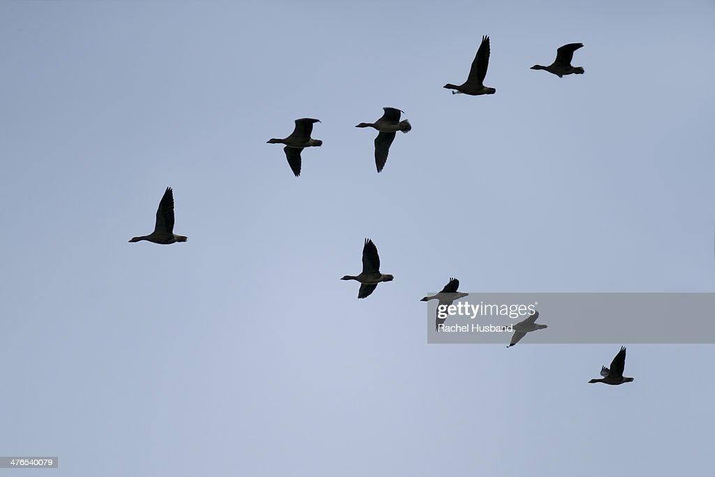 Silhouette of greylag geese flying in V formation