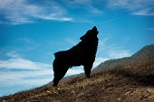 Silhouette of Hungarian sheepherd dog barking on the sky
