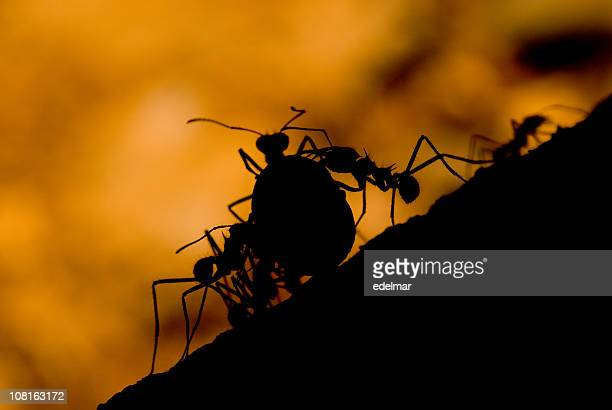 Silhouette of Leaf Cutter Ants Carrying Leaves