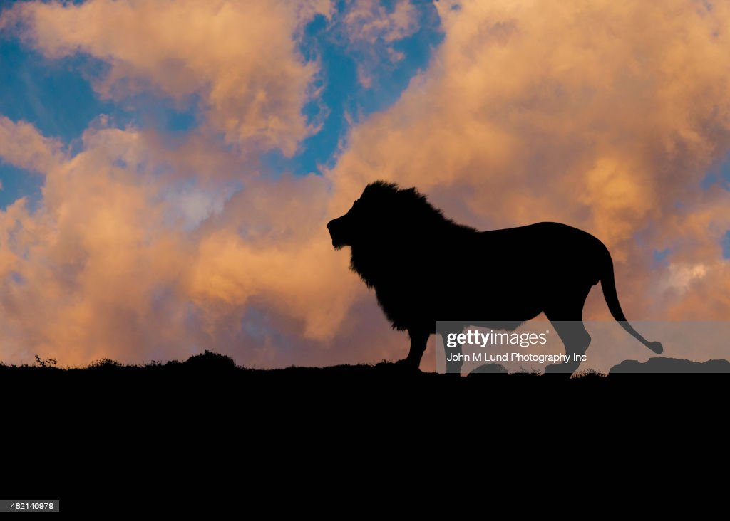 Silhouette of lion against blue sky and clouds : Stock Photo
