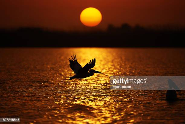 silhouette of pelican in the sunset