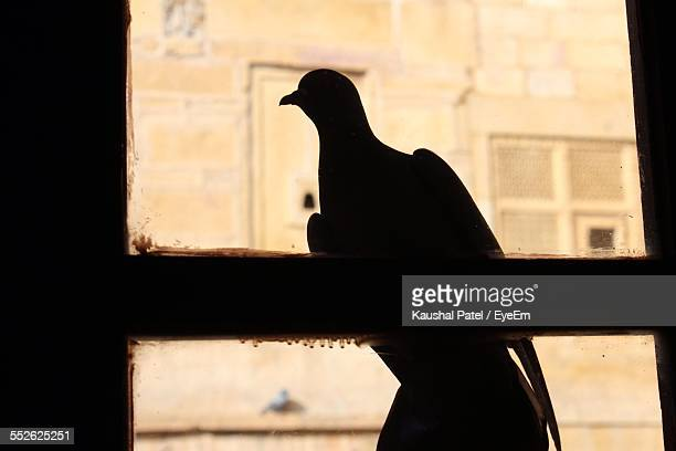 Silhouette Of Pigeon Seeing Through Window