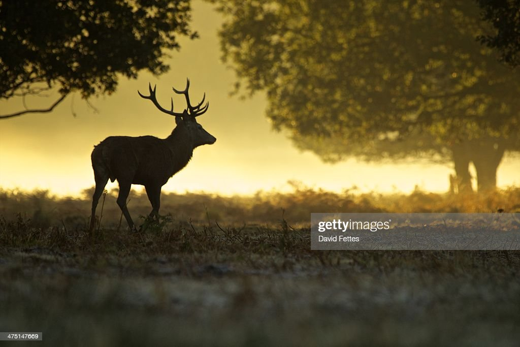 Silhouette of red deer stag at dawn