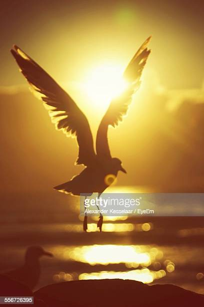 Silhouette Of Seagull In Sunset Light