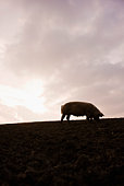 Silhouette of sow in pasture at sunset