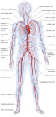Silhouette Of The Human Body Showing The Location And Extent Of The Heart And Vascular System
