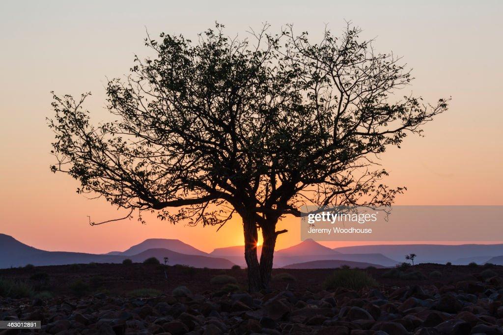 Silhouette of tree in desert at sunrise : Stock Photo