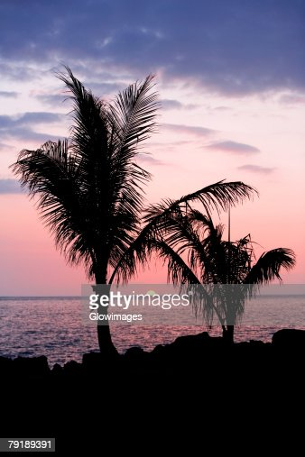 Silhouette of trees at dusk, Pakini Nui Wind Project, South Point, Big Island, Hawaii Islands, USA : Stock Photo
