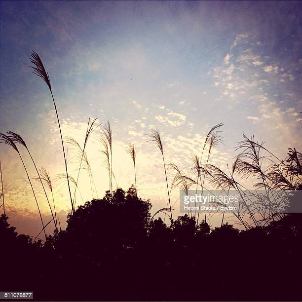 Silhouette of trees in forest with pampas grass in foreground