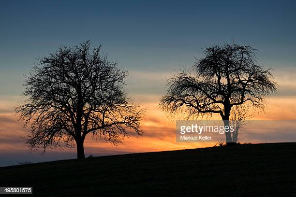 Silhouette of two apple trees against an evening sky, Baden-Wurttemberg, Germany