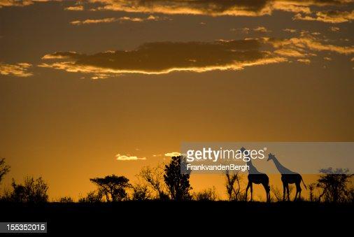 Silhouette di due giraffe su un tramonto africano