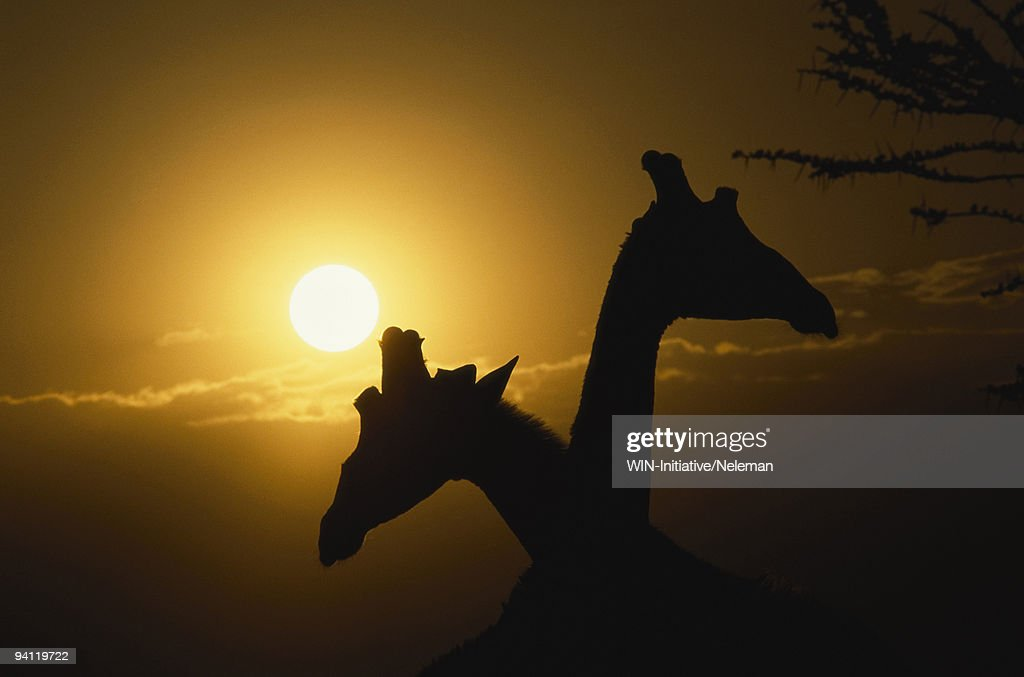 Silhouette of two giraffes (Giraffa camelopardalis) necking, Samburu National Park, Kenya