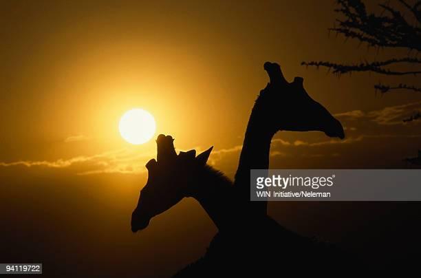 Silhouette of two giraffes (Giraffa camelopardalis) necking, Samburu National Park, Kenya