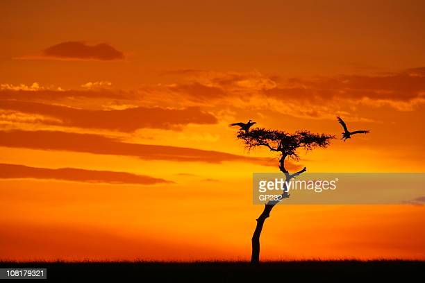Silhouette of Vulture Landing on tree at Sunset
