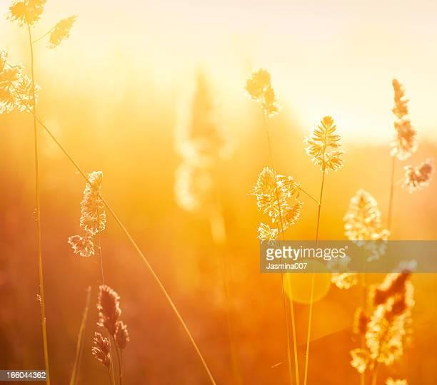 Silhouette di fiori selvatici di prato durante l'alba