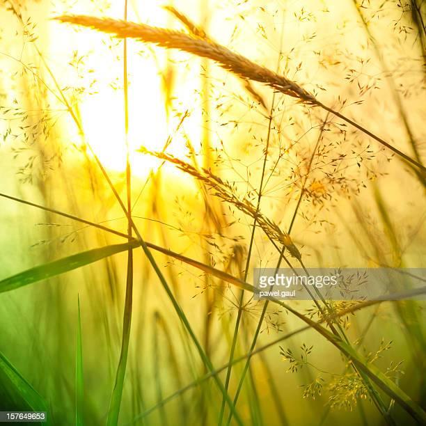 Silhouette de fleurs sauvages Prairie au coucher du soleil