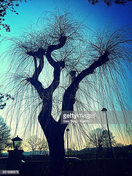 Silhouette Of Willow Tree At Dusk