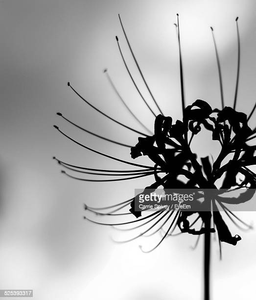Silhouette Spider Lilies
