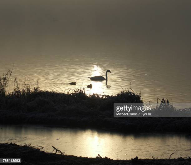 Silhouette Swan Family Swimming In Lake During Sunset