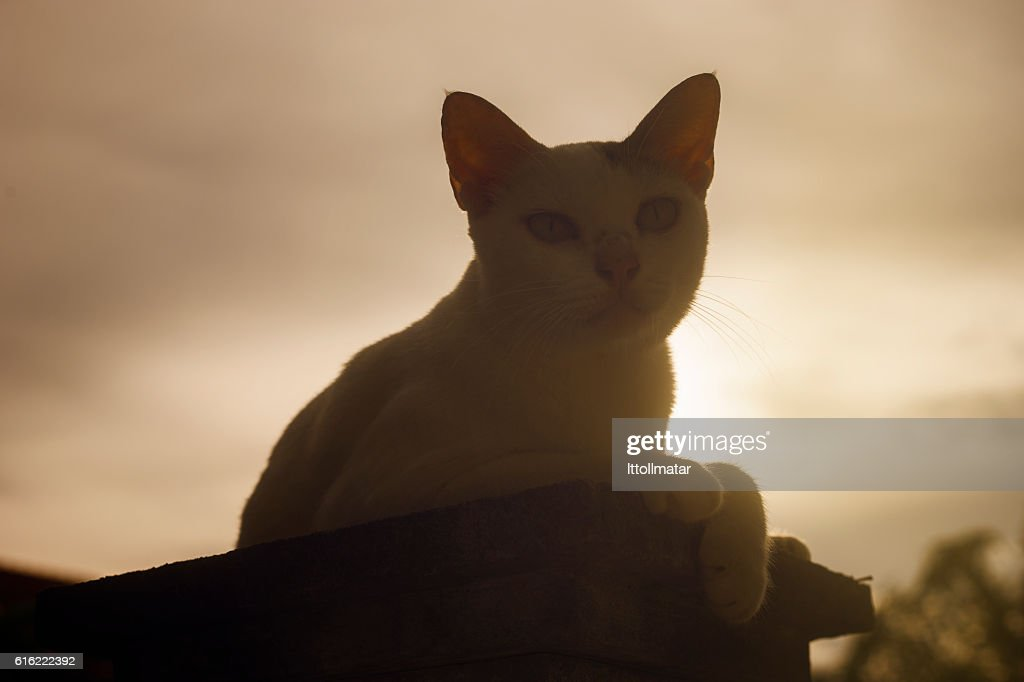 silhouette thai cat sitting on pillar with sunset light : ストックフォト