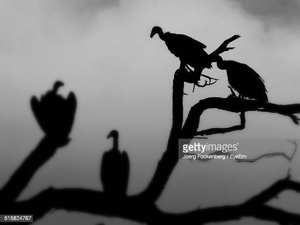 Silhouette Vultures On Tree Trunk