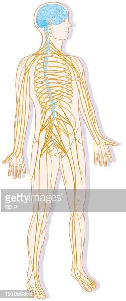 nervous system drawing pictures getty images