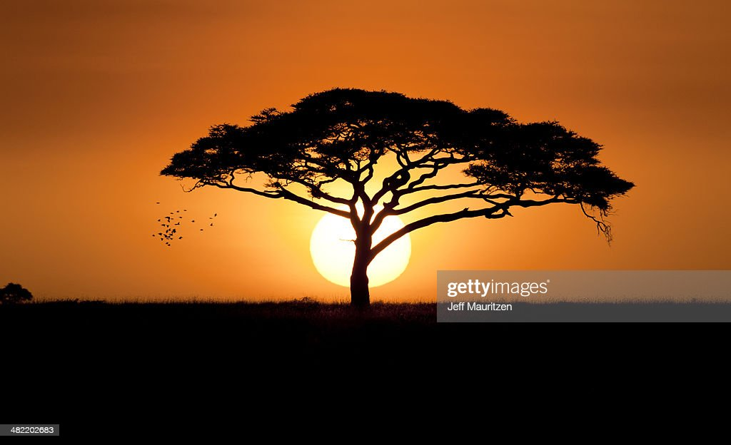 A silhouetted acacia tree, Acacia species, at sunset. : Stock Photo