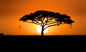 A silhouetted acacia tree, Acacia species, at sunset.