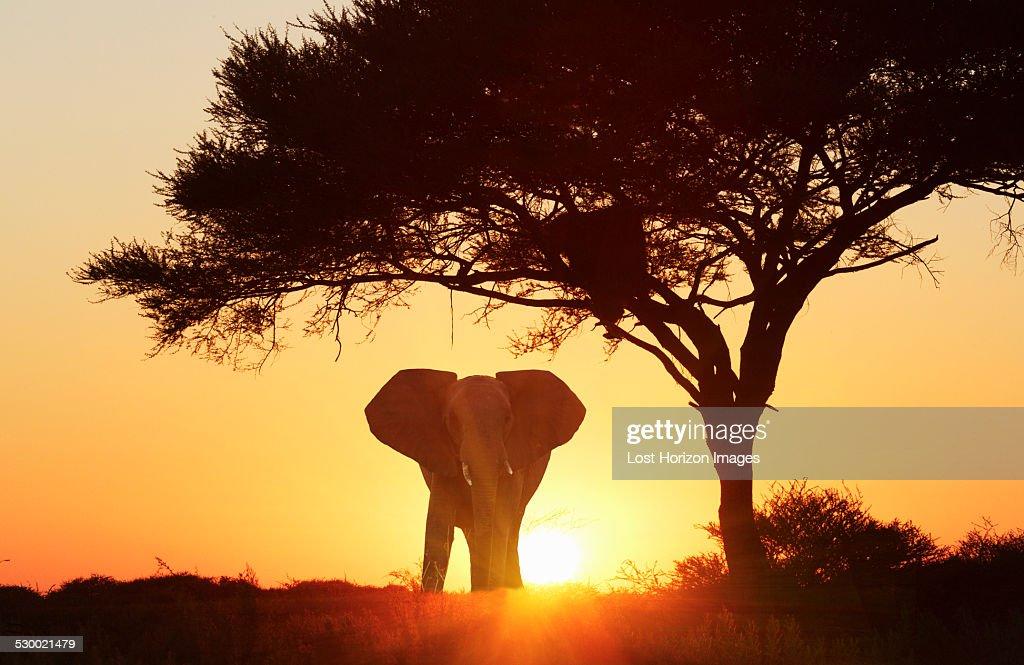 Silhouetted african elephant at sunset, Etosha National Park, Namibia