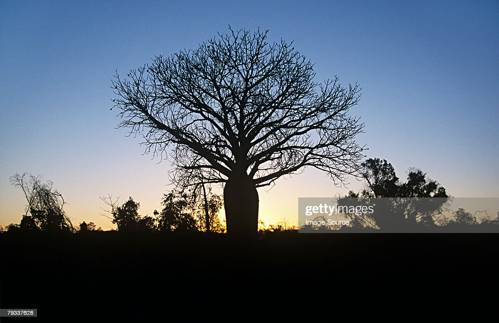 Silhouetted baobab tree : Stock Photo