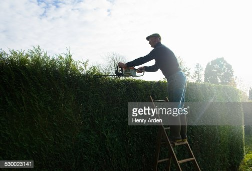 Silhouetted man on top of ladders trimming tall garden hedge
