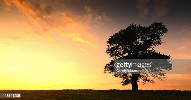 Silhouettes chêne au coucher du soleil