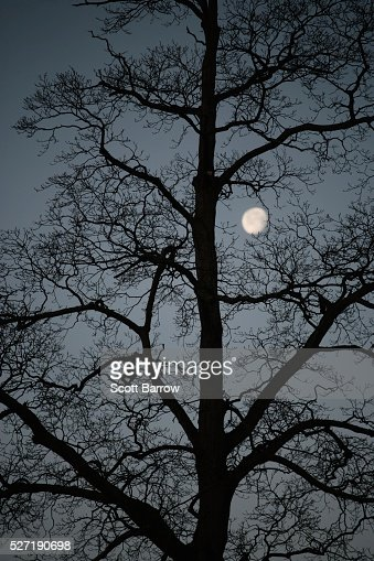 Silhouetted tree at night : Stock Photo