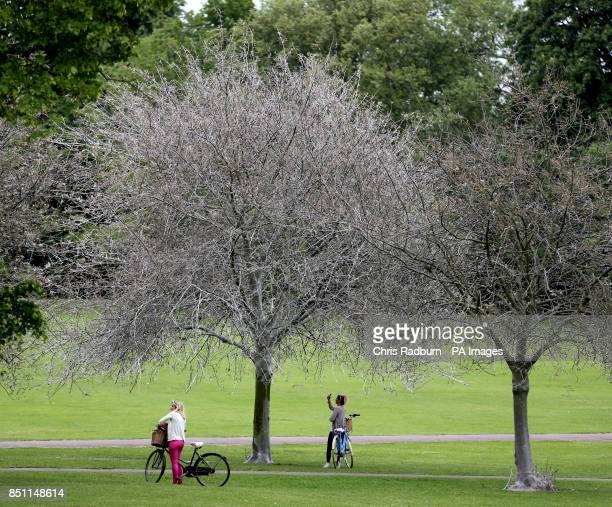 Silk webs from Ermine moth caterpillars covers trees on Jesus green in Cambridge