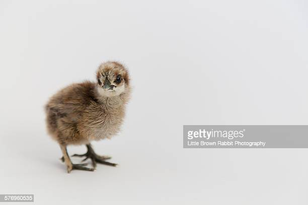 Silkie Chick 1