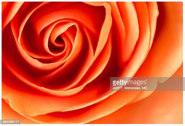 Silky fibonacci image of rose petals