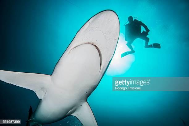 Silky sharks (Carcharhinus falciformis) and diver at Socorro Island, Revillagigedo, Mexico