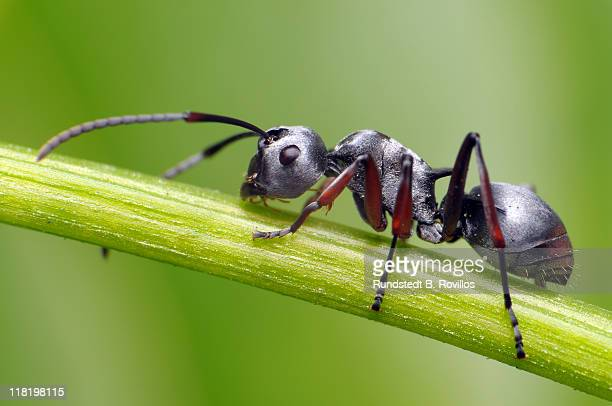 Silver ant on stem