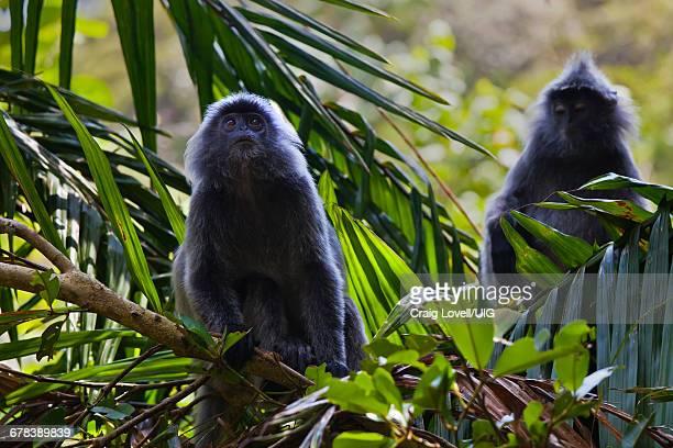 Silver Backed Leaf Monkeys