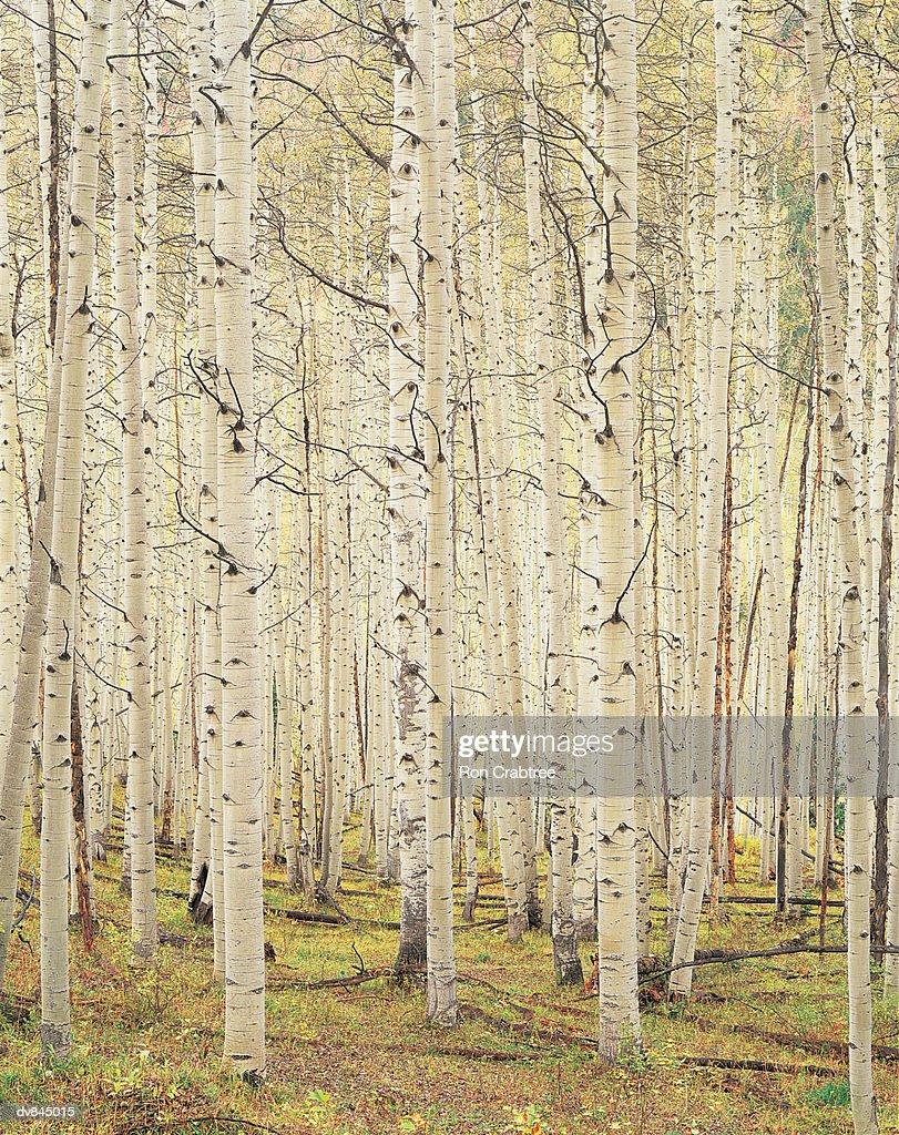 Silver Birch, Aspen, Colorado, USA : Stock Photo
