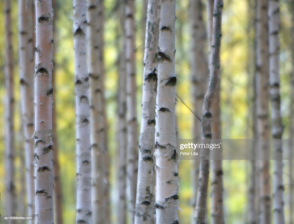 Silver Birch (Betula pendula) forest, close-up : Stock Photo