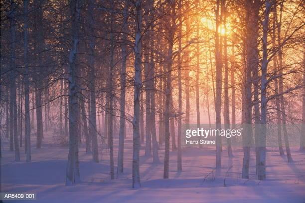Silver birch forest (Betula pendula) winter, Dalarna, Sweden