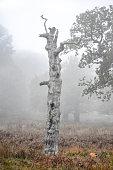 Silver Birch Sculpture in the Smoky Fog
