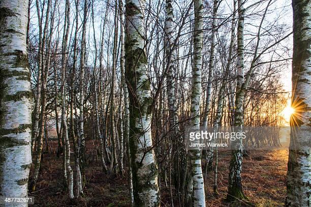 Silver birches in winter at dawn